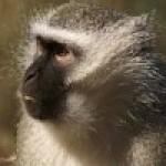 Самки обезьян — лучшие учителя. Комментарии ученых и экспертов, мнения, научные блоги.