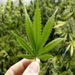 Госдума в первом чтении приняла законопроект о выращивании опиумного мака