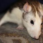 Крысу застукали за воровством бриллиантов